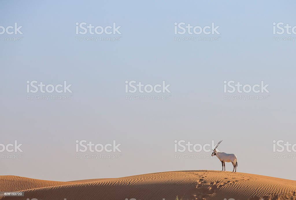 Arabian oryx in a desert near Dubai stock photo