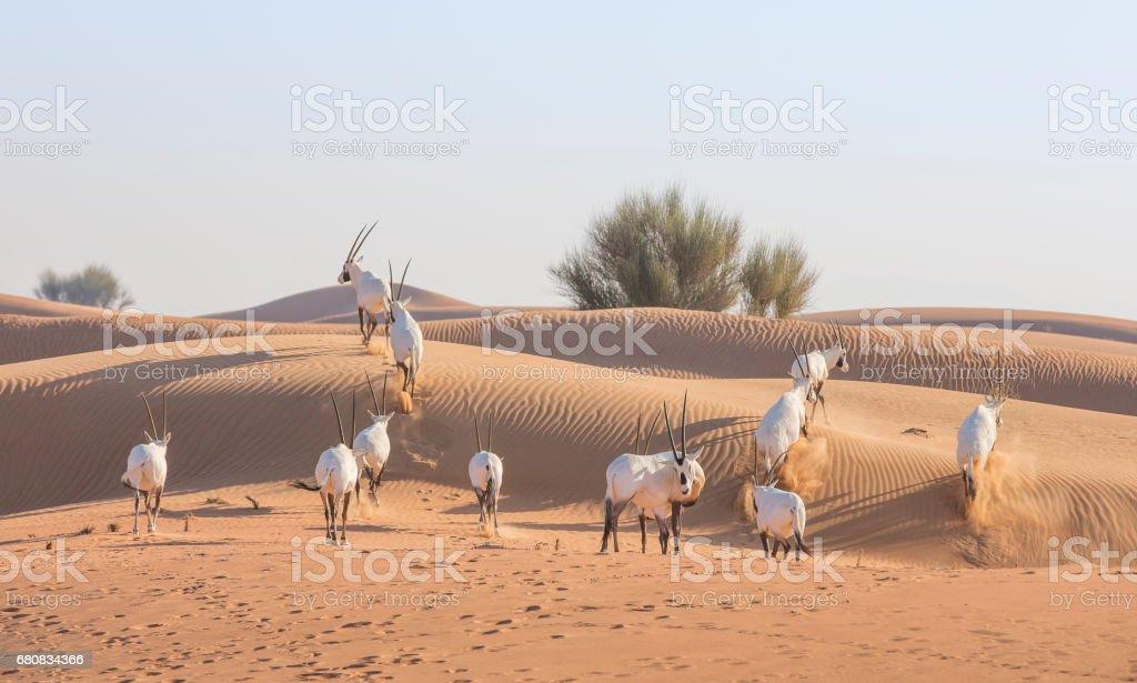 Arabian oryx in a desert near Dubai stock photo