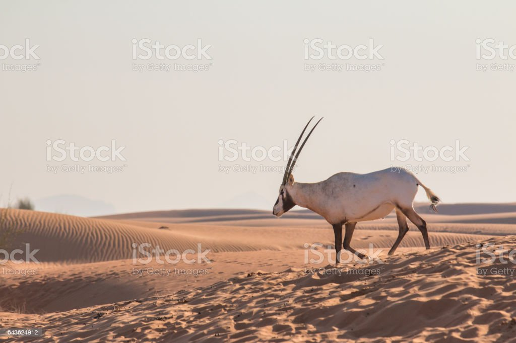 Arabian oryx (Oryx leucoryx) in the desert after sunrise. stock photo