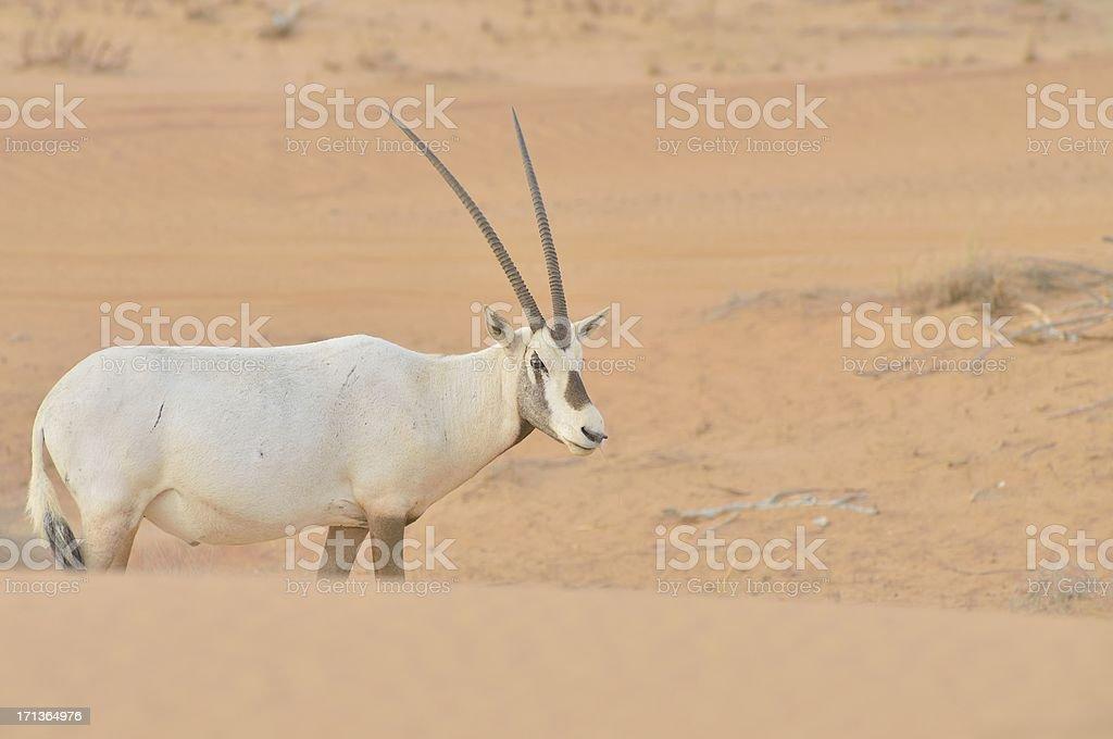 Arabian Oryx stock photo