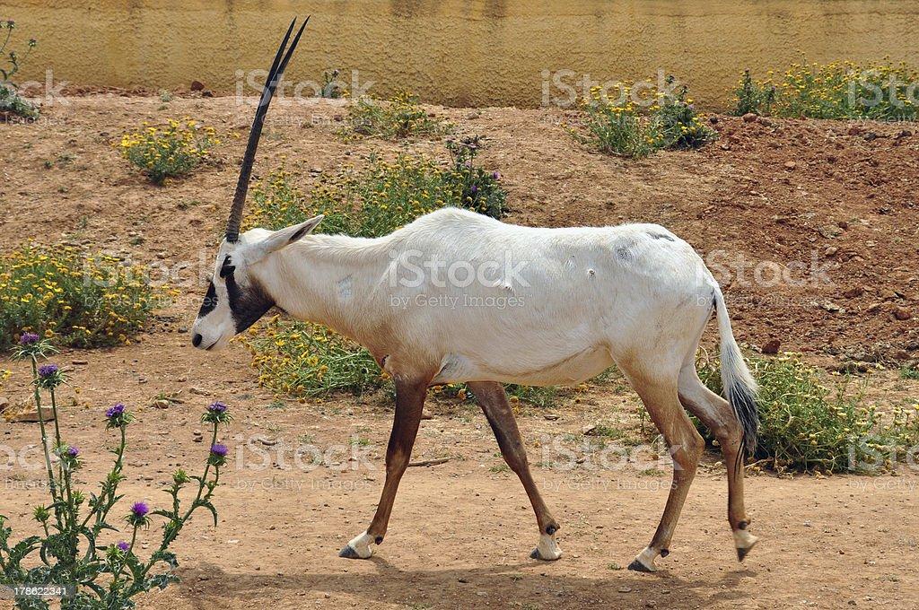 arabian oryx royalty-free stock photo