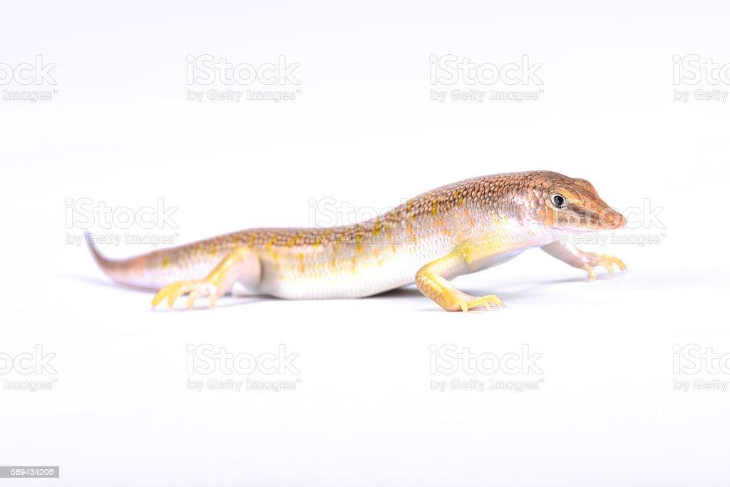 Arabian sand skink (Scincus mitranus) stock photo