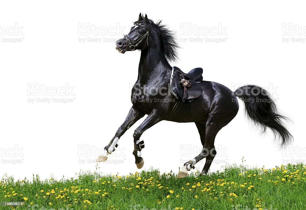 Arabian stallion gallops in field royalty-free stock photo