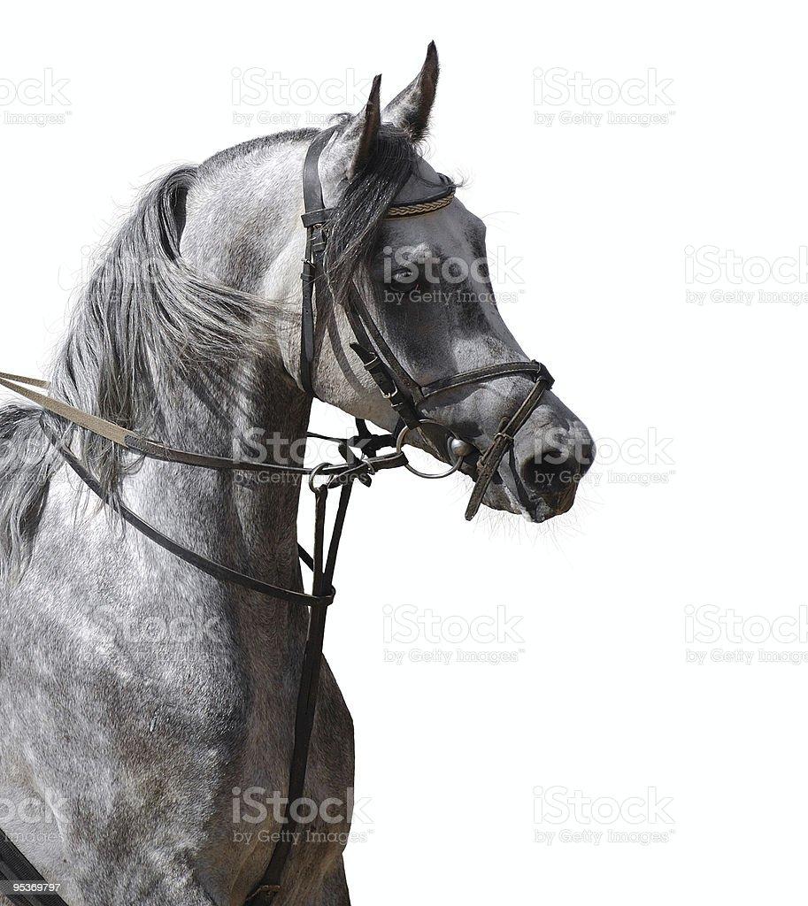 arabian stallion stock photo