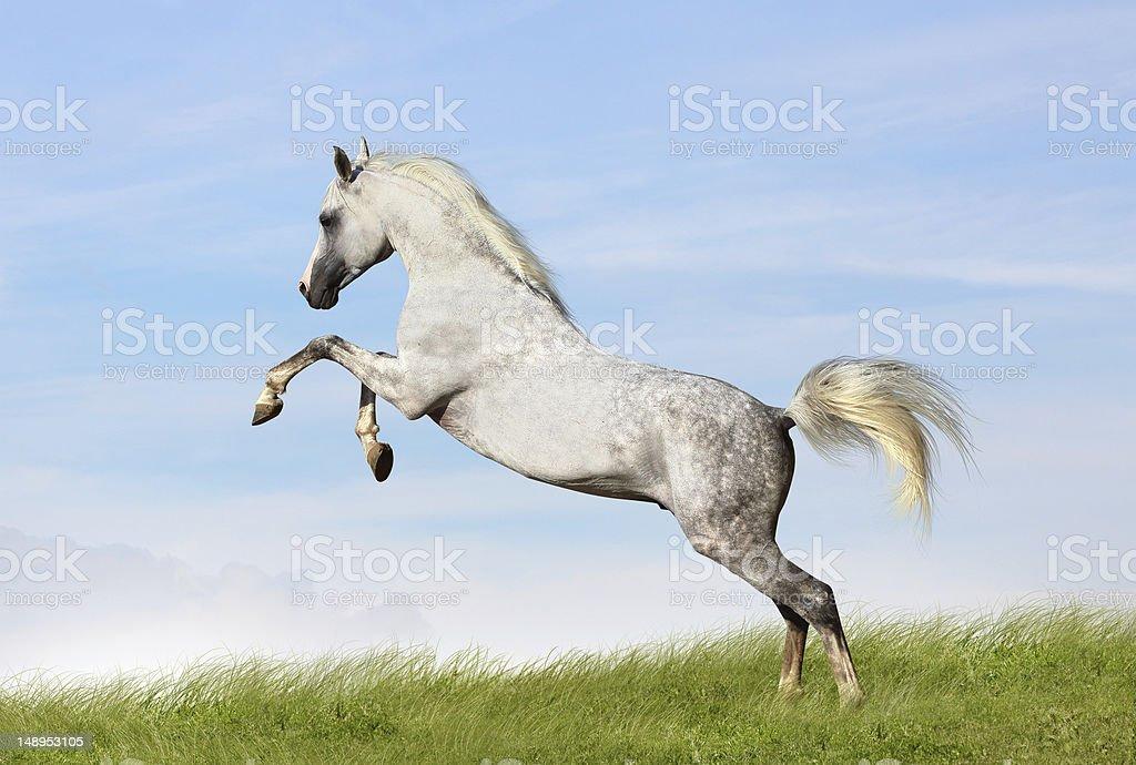 arabian stallion rears stock photo