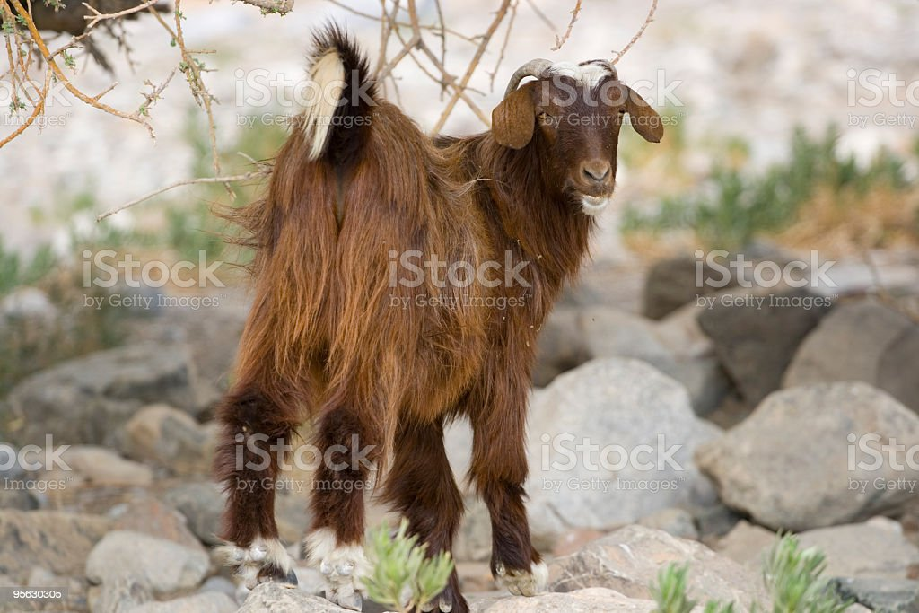 Arabian tahr - goat royalty-free stock photo