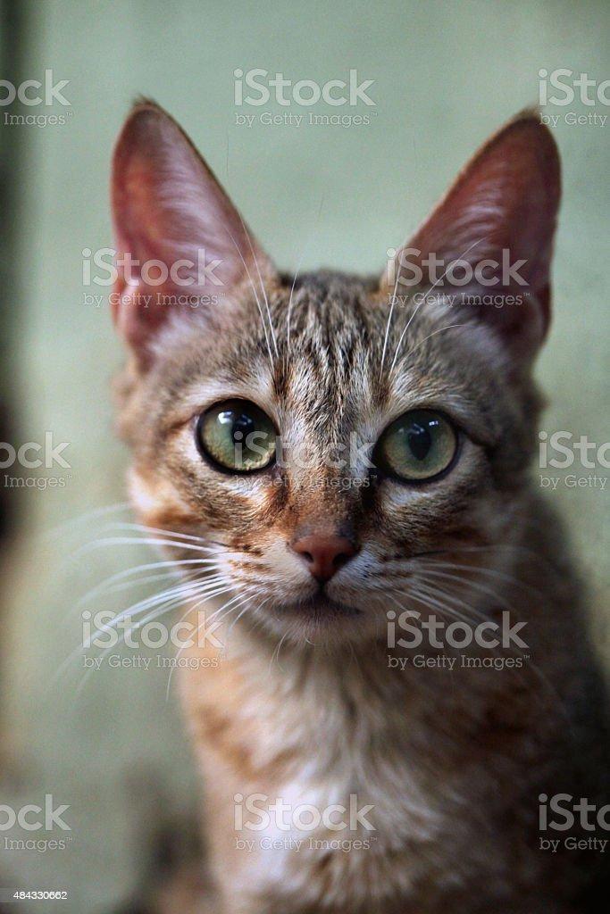 Arabian wildcat (Felis silvestris gordoni). stock photo