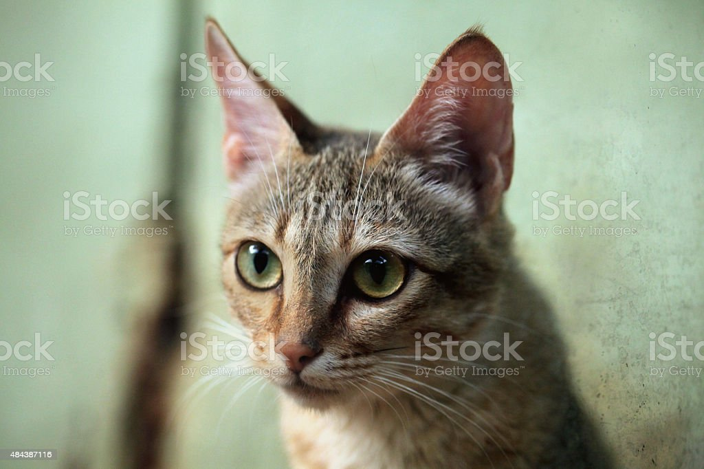 Arabian wildcat (Felis silvestris gordoni). stock photo