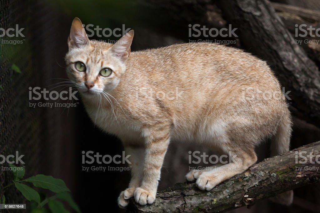 Arabian wildcat (Felis silvestris gordoni) stock photo