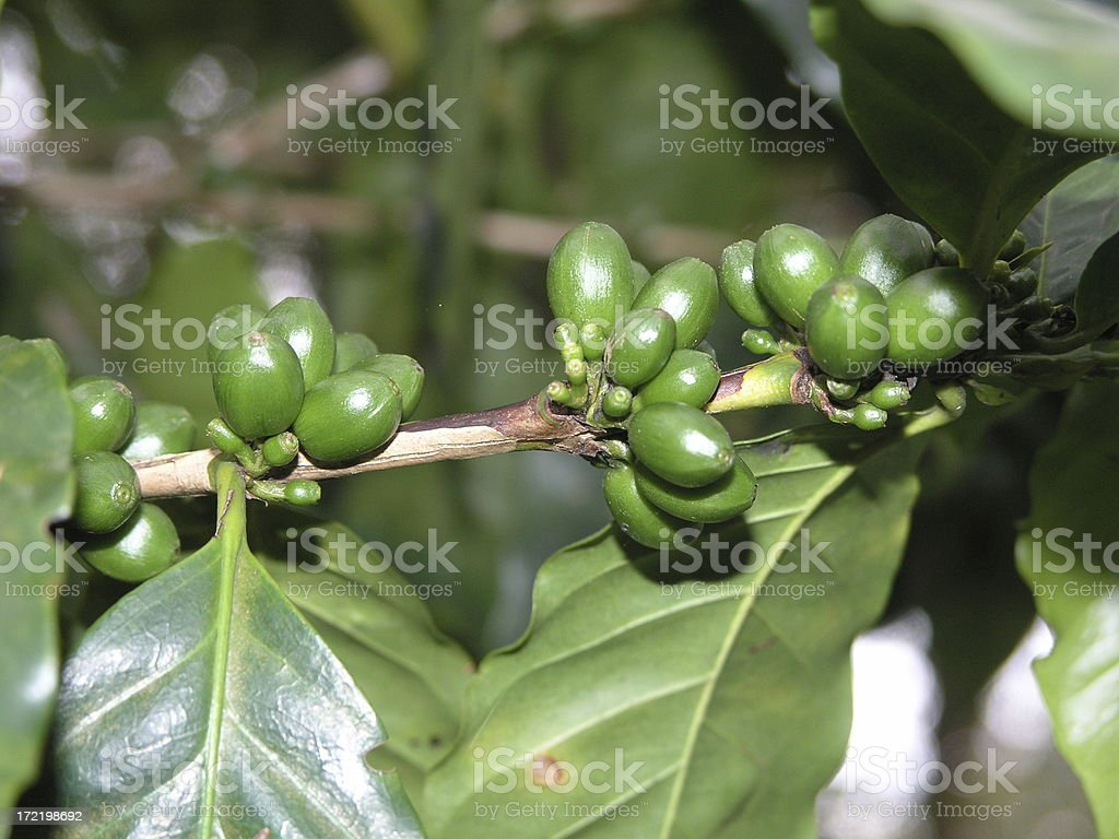 Arabica Coffee Beens royalty-free stock photo