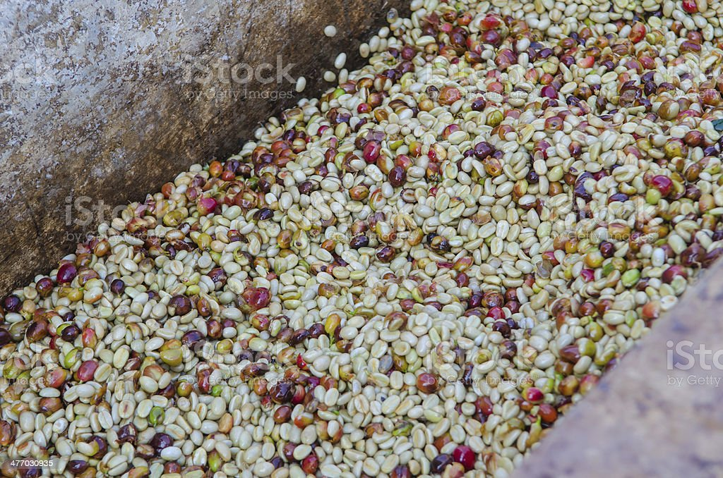 arabica coffee berries after pulping stock photo