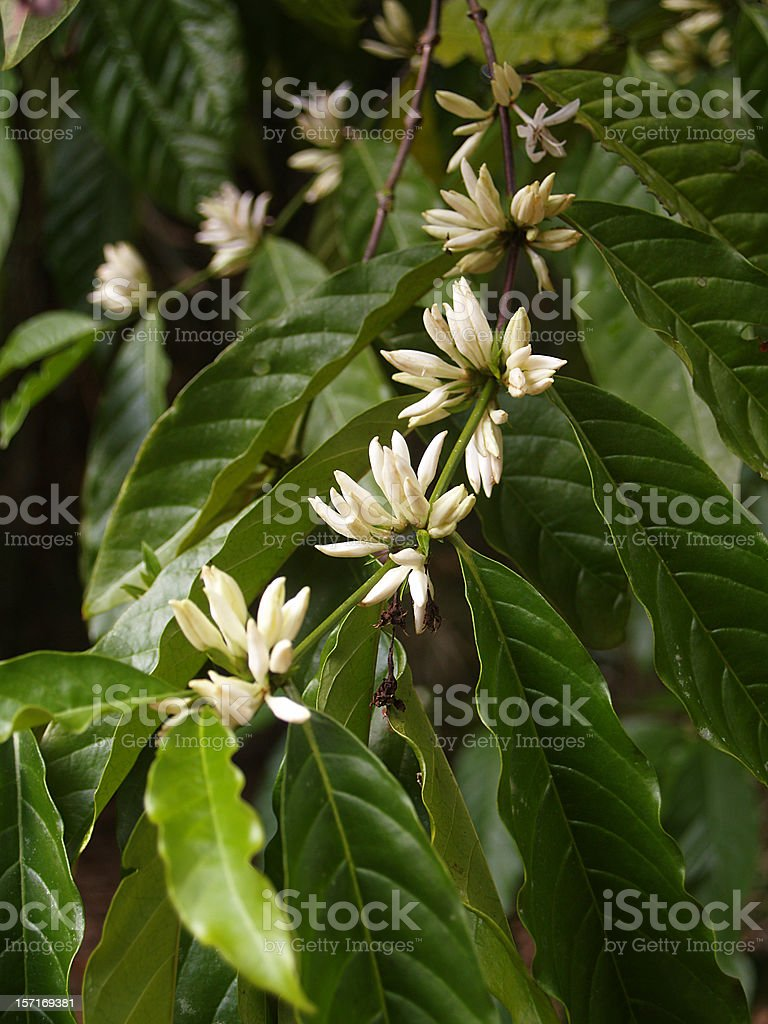Arabica coffee tree in bloom royalty-free stock photo