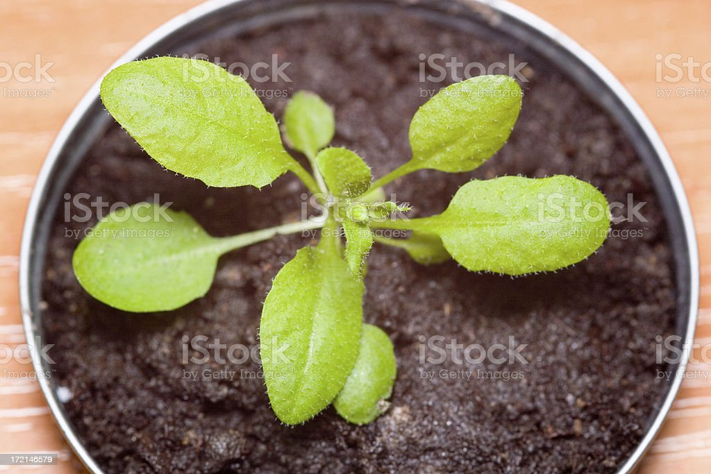 Arabidopsis plant royalty-free stock photo