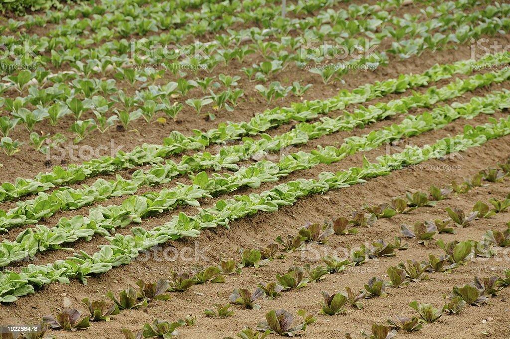 Arable farm, Jersey. royalty-free stock photo