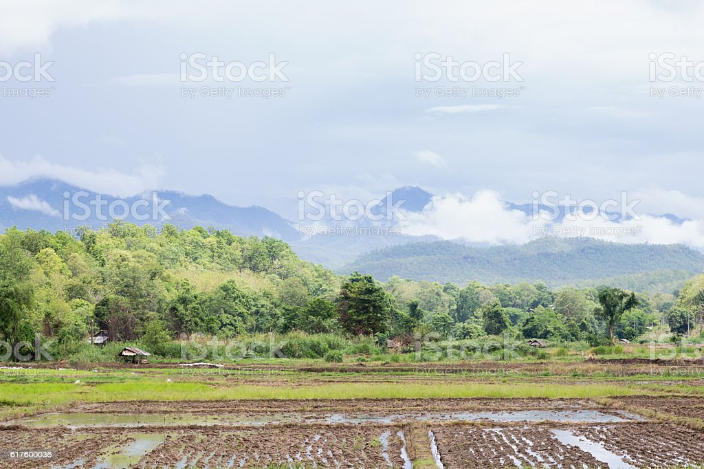 Arable farming rice stock photo