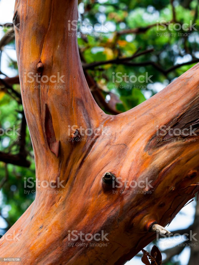 Arabutus Tree (Pacific Madrona) stock photo