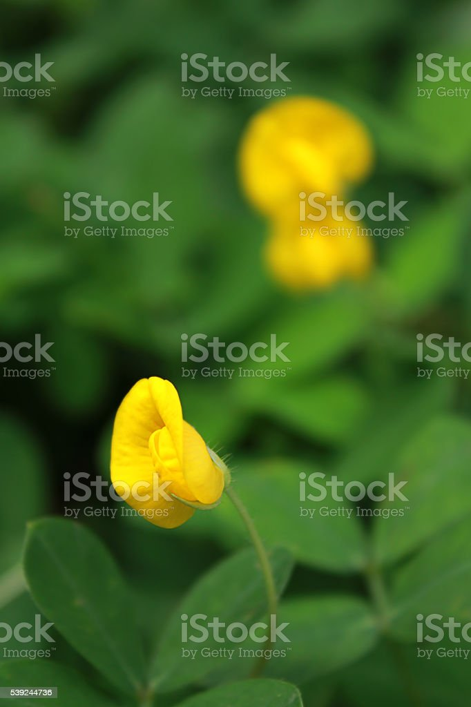 Arachis pintoi flower stock photo