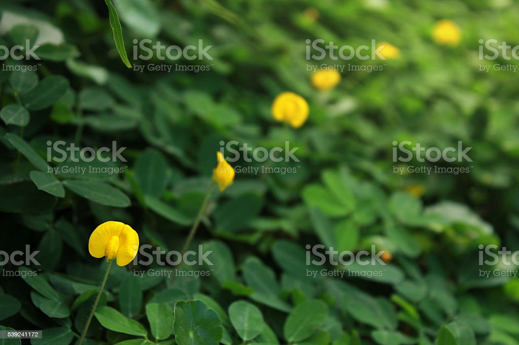 Arachis pintoi (Pinto peanut) in a row stock photo