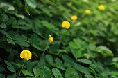 Arachis pintoi (Pinto peanut) in a row