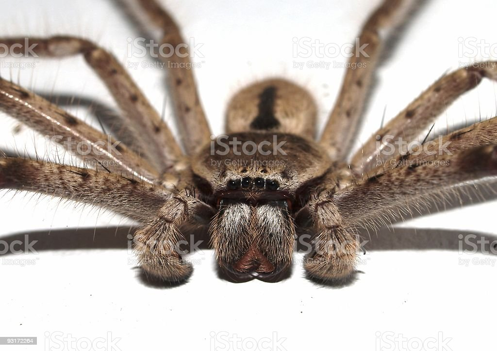Arachnid eyes royalty-free stock photo
