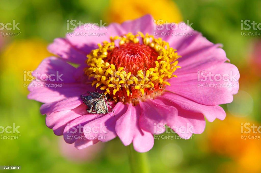 Arachnid on Pink Petals stock photo