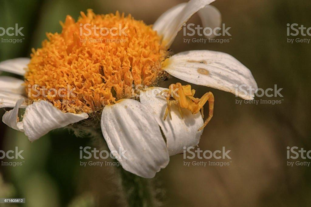 Araignée-citron stock photo