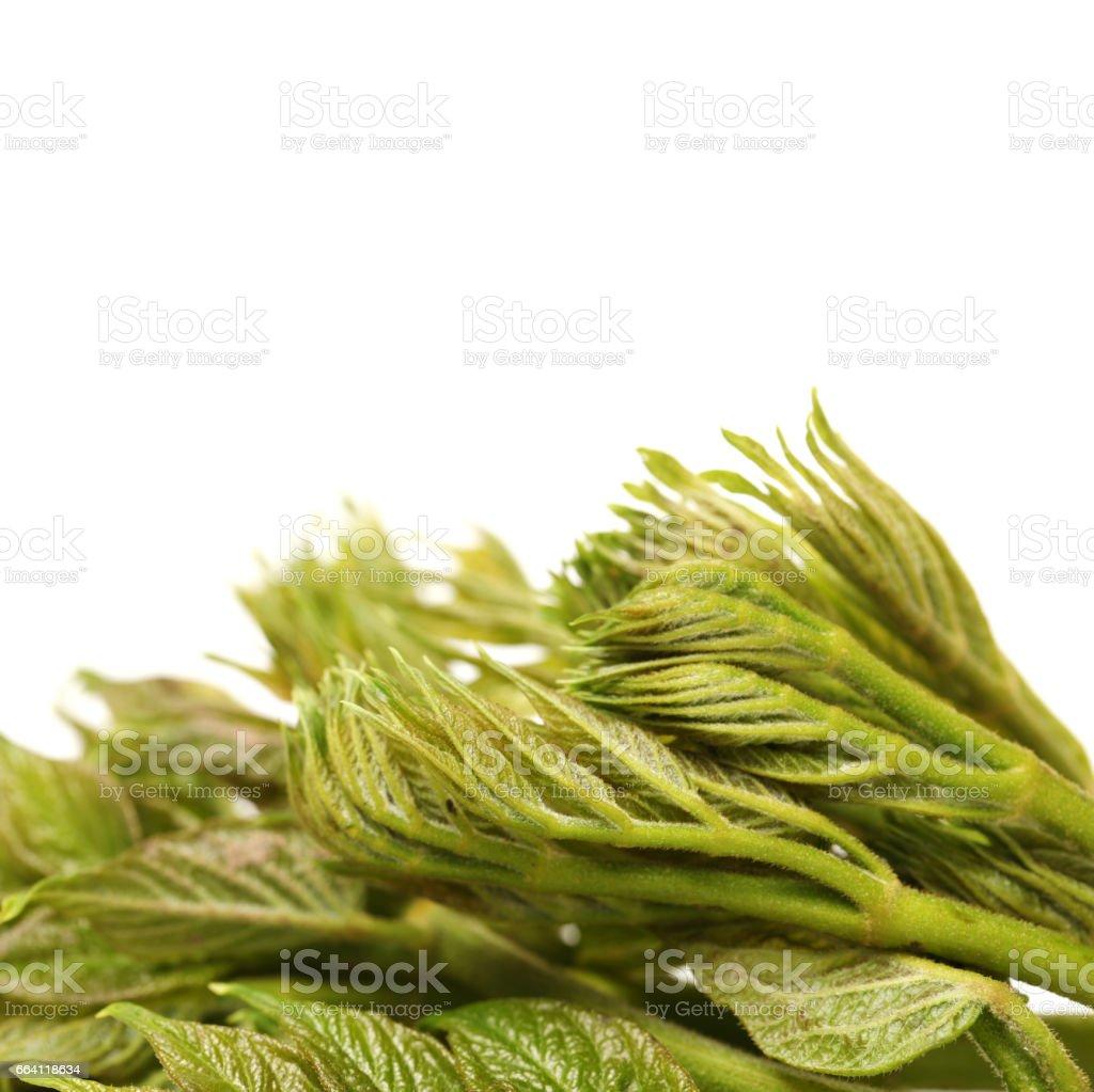 aralia sprout on white background stock photo