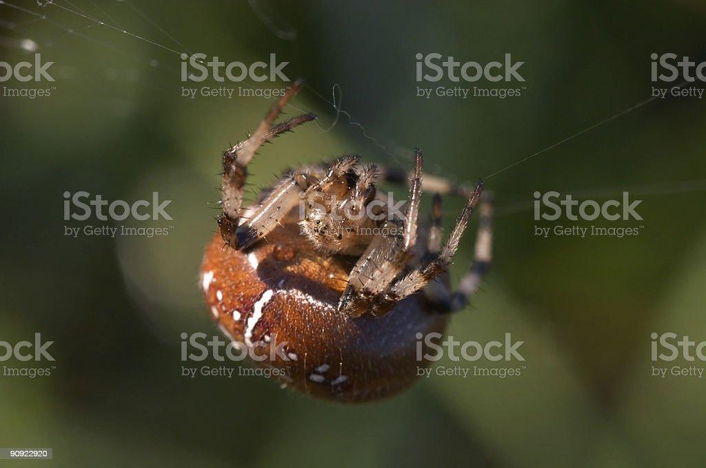 Araneus Diadematus royalty-free stock photo