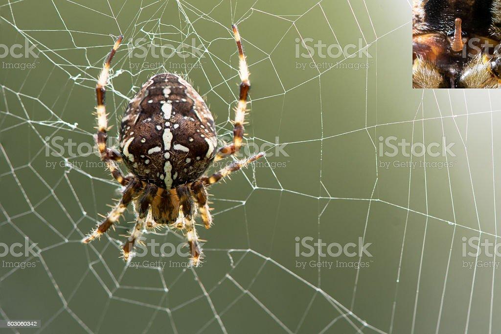 Araneus diadematus spider on web, with detail of epigyne stock photo