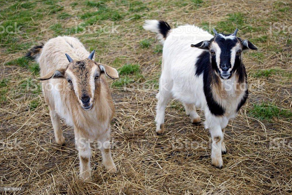 Arapawa Goats stock photo