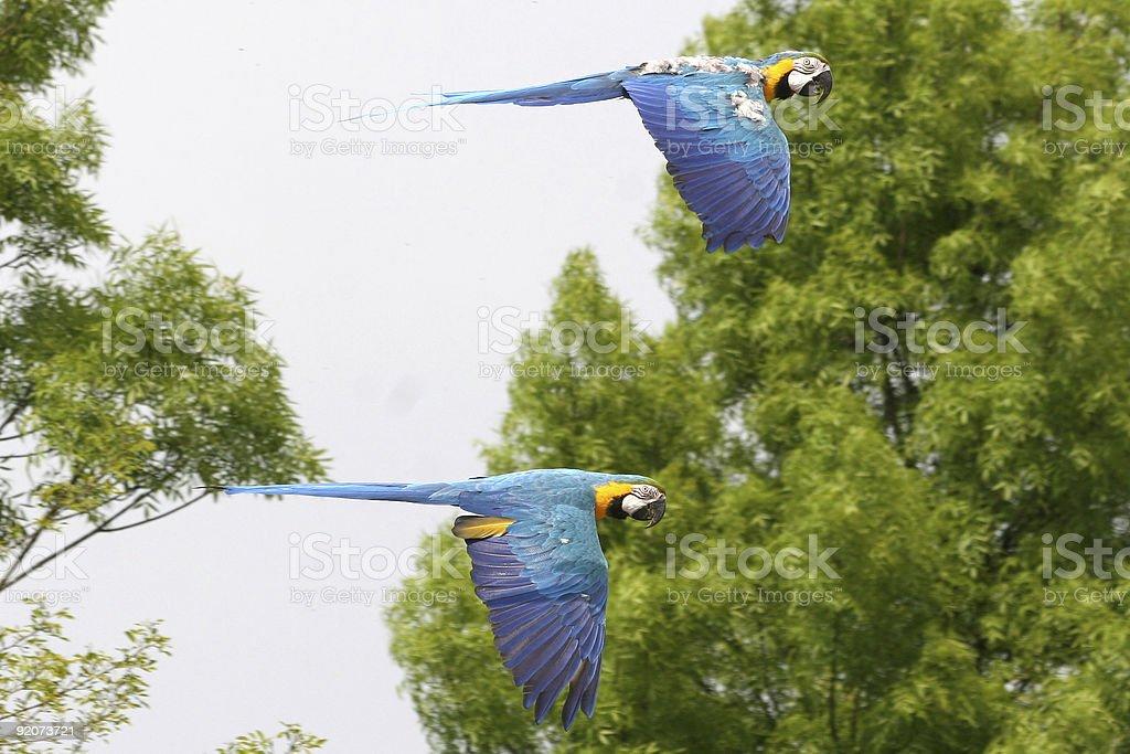 ara's flying royalty-free stock photo