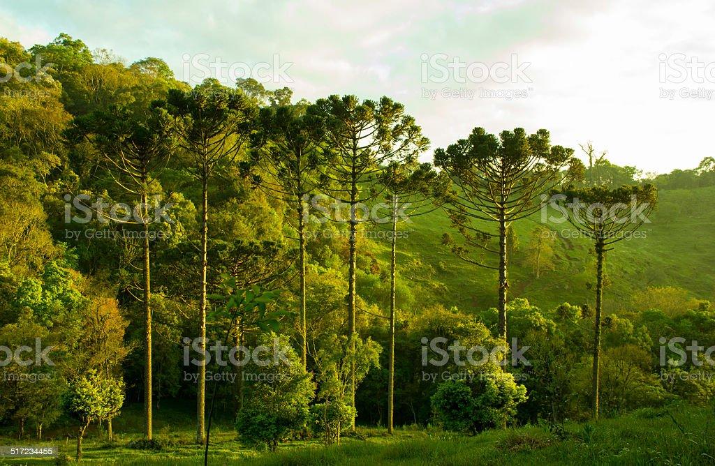Araucaria Angustifolia from Brazil stock photo