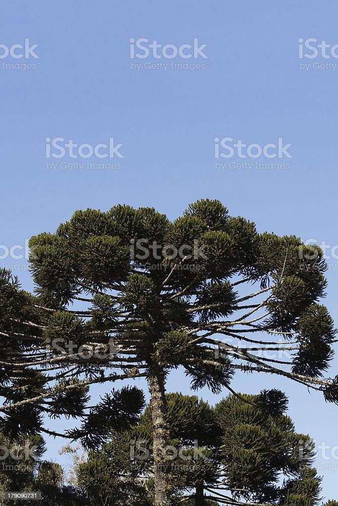 Araucaria Angustifolia royalty-free stock photo