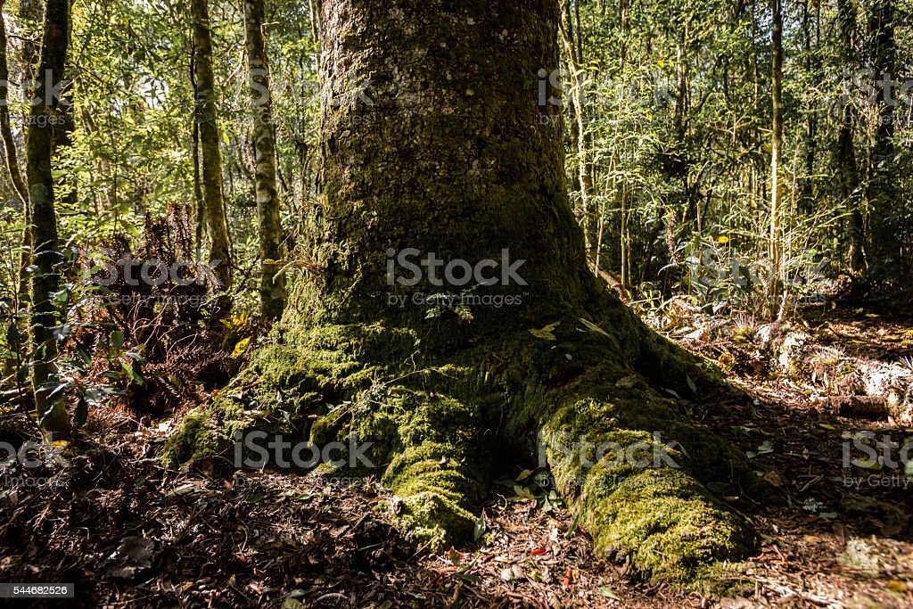 Araucaria angustifolia stock photo