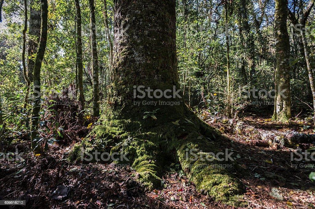 Araucaria angustifolia stock photo