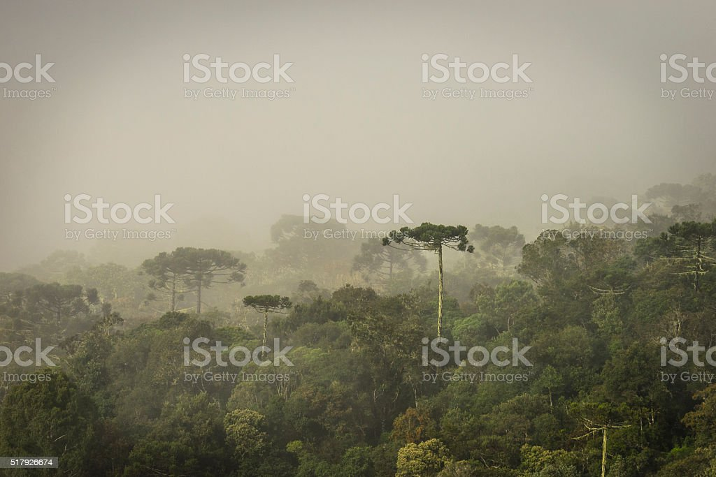Araucaria Forest stock photo