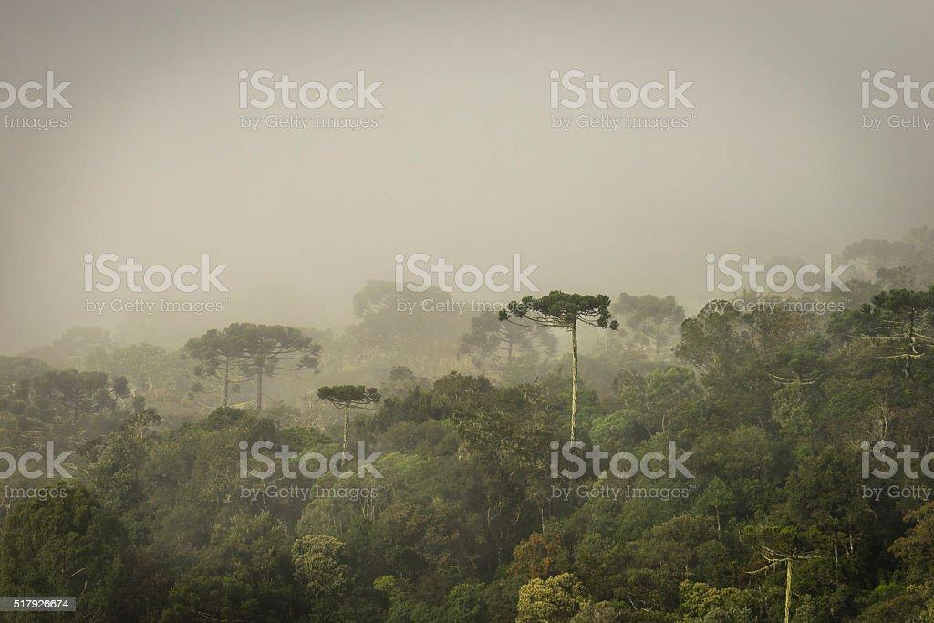 Araucaria Forest stock photo