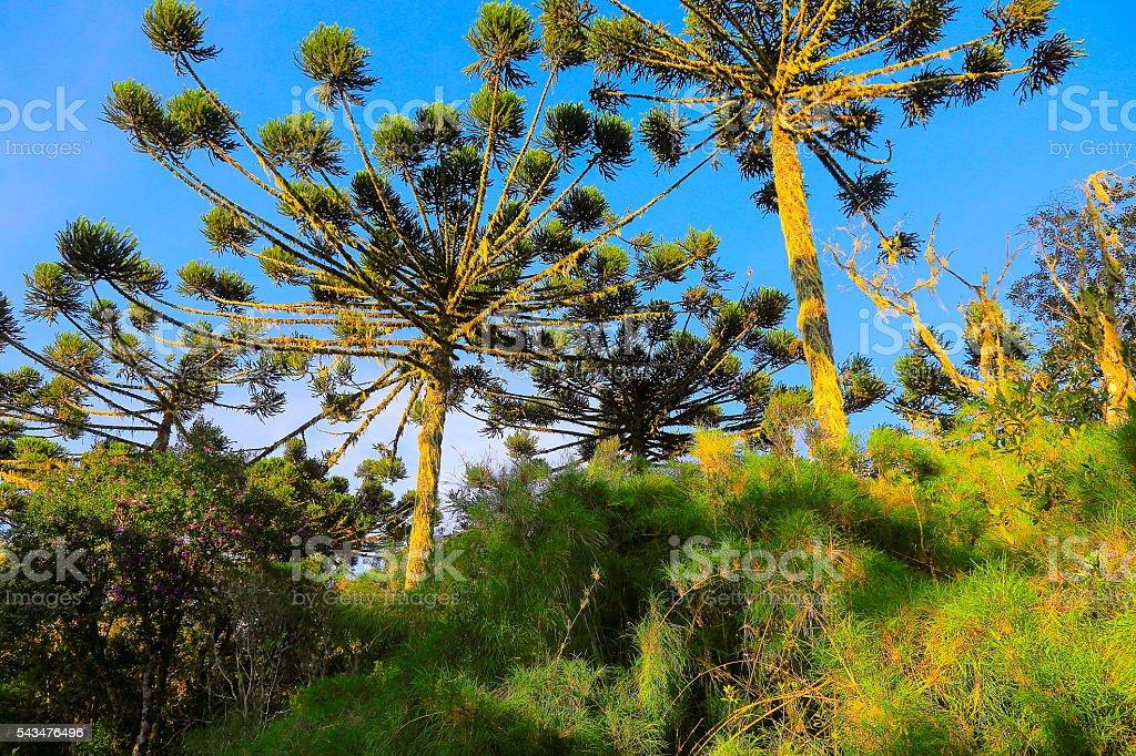 Araucaria Green Brazilian pine trees sunset, Paraná, Southern Brazil stock photo