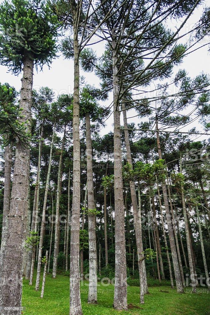 Araucaria tree stock photo