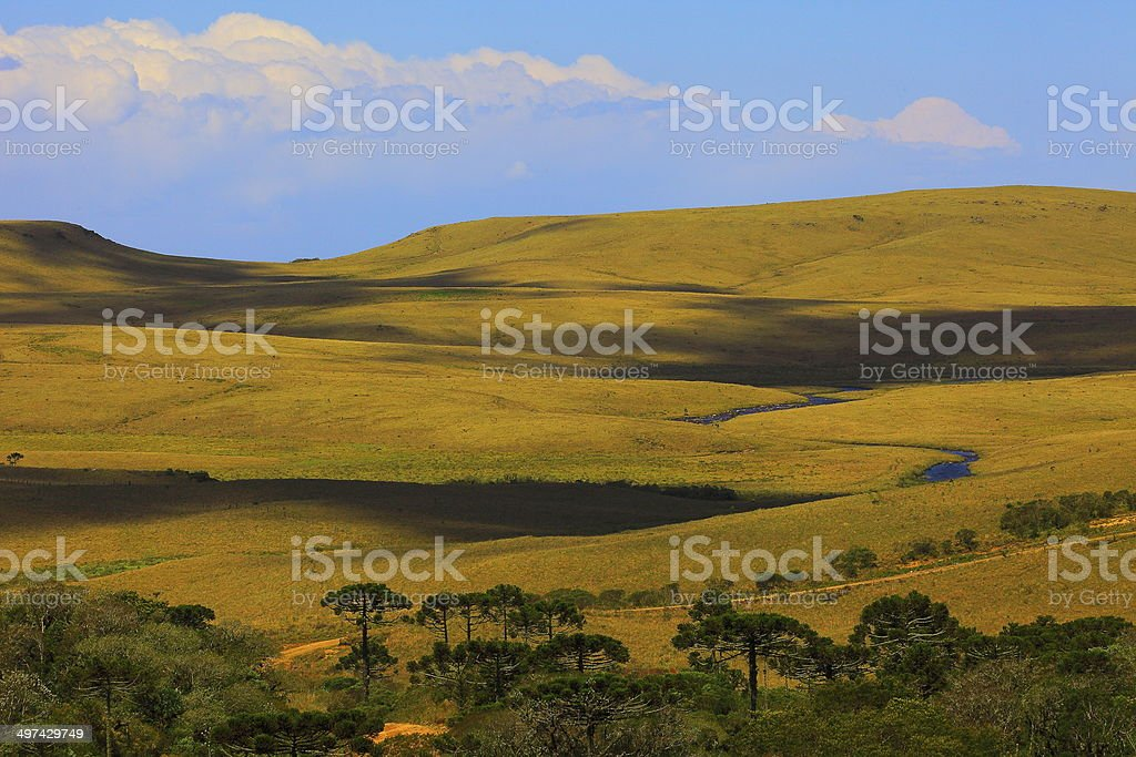 Araucarias and pampa field in southern Brazil, South America stock photo