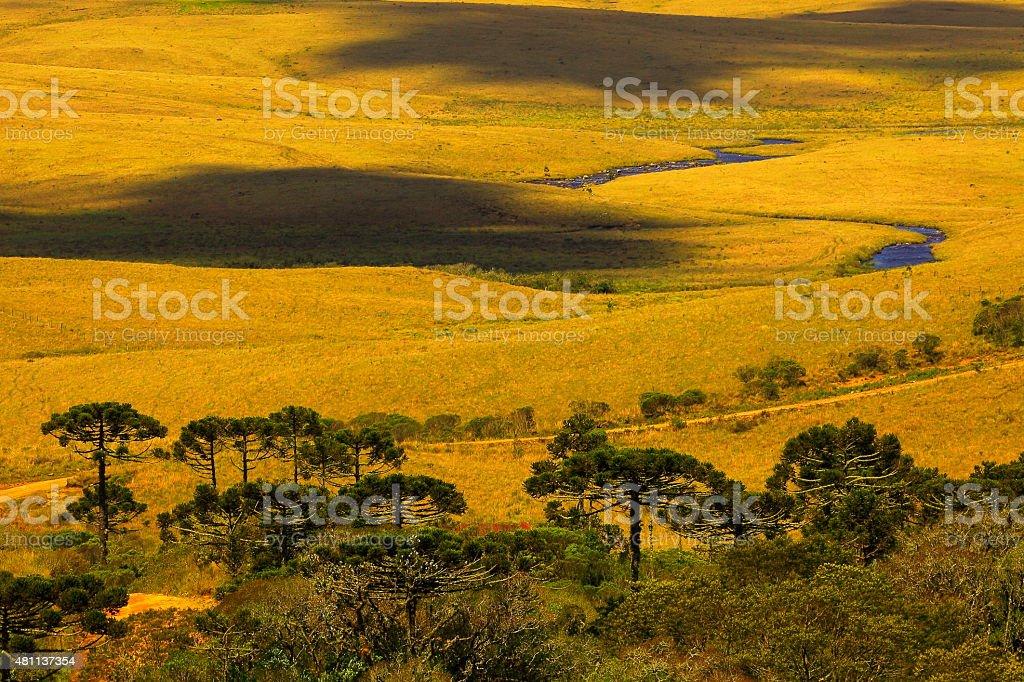 Araucarias and pampa meadow, Rio Grande do Sul, southern Brazil stock photo