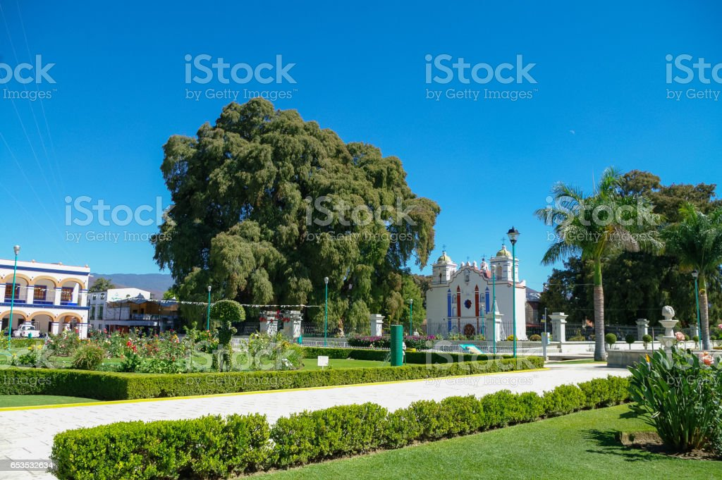 Arbol del Tule, a giant sacred tree in Tule, Oaxaca, Mexico stock photo