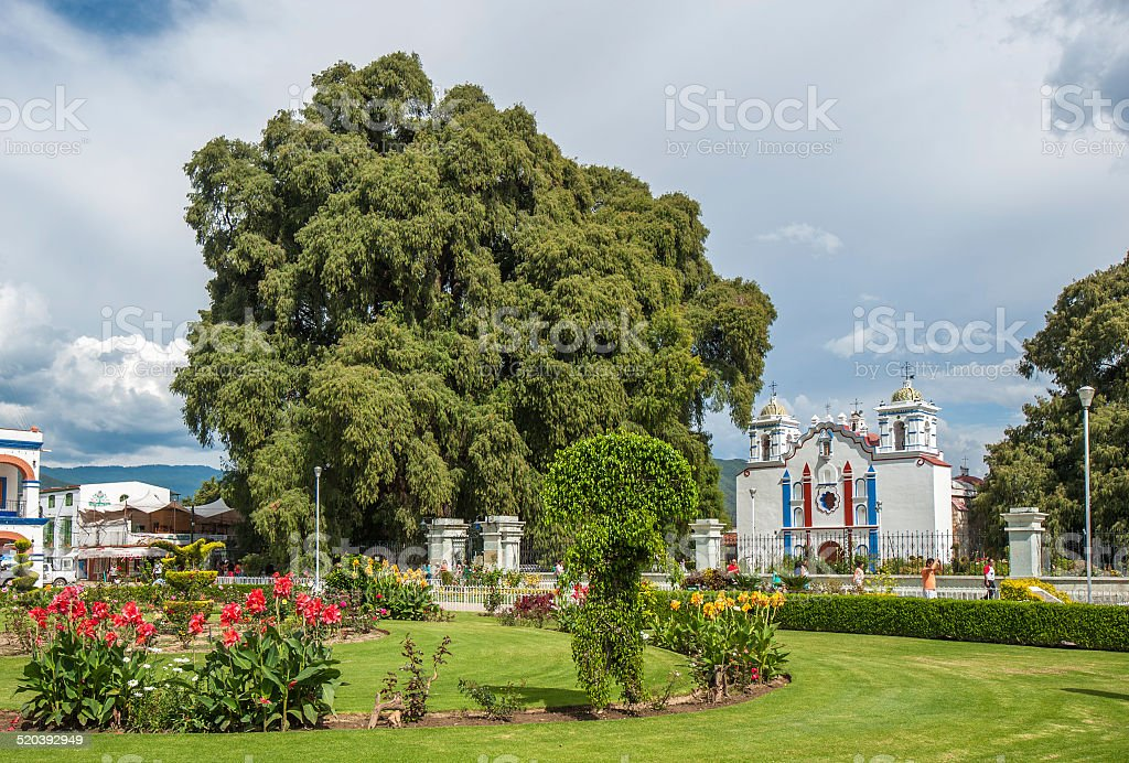 Arbol del Tule, a giant sacred tree, Oaxaca, Mexico stock photo