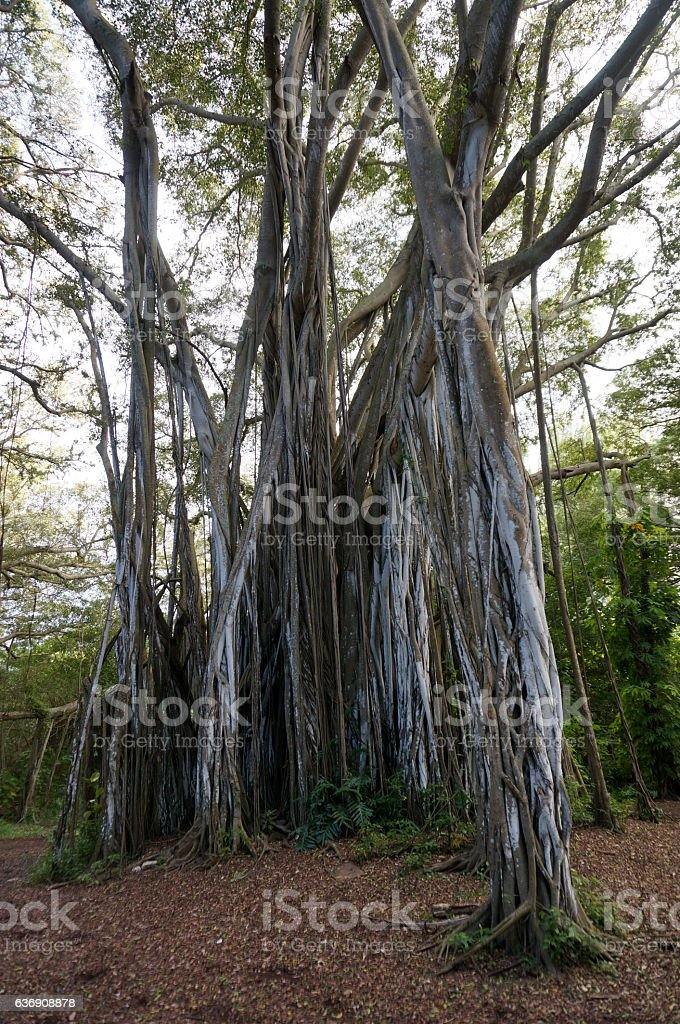 Arbor of old banyan tree stock photo