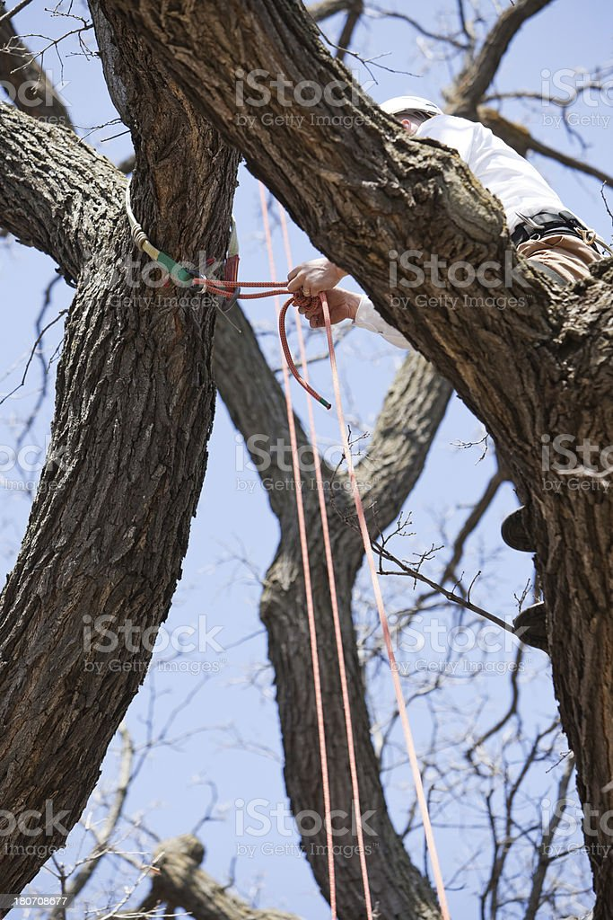 Arborist Tying Safety Rope to Oak Tree Branch royalty-free stock photo