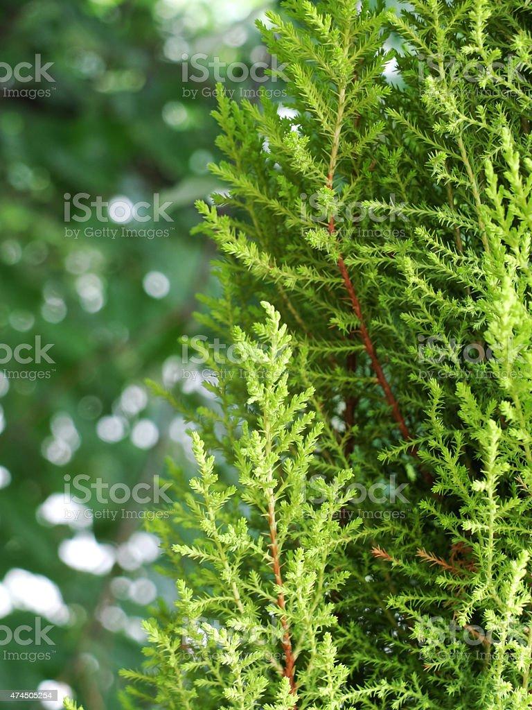 Arborvitae - A species of pine tree. stock photo