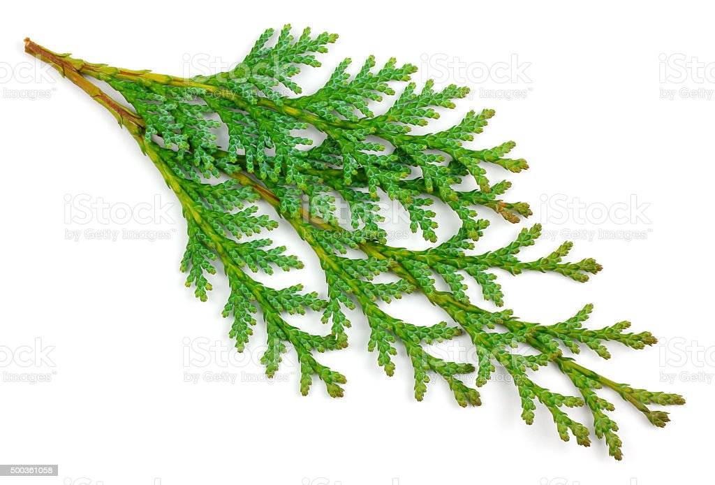 Arborvitae leaves on a white background stock photo