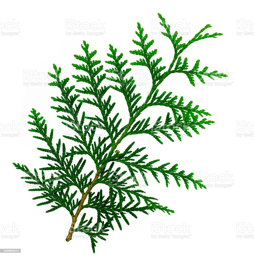 Arborvitae leaves on a white background. stock photo