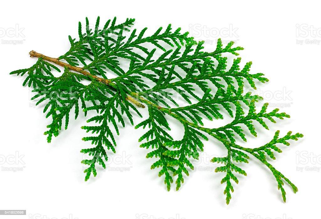 Arborvitae leaves on a white background stock photo