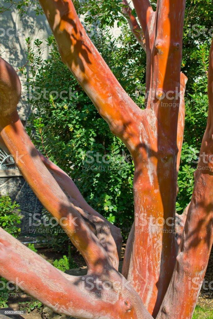 Arbutus andrachne. stock photo